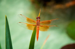 Free Dragonfly Royalty Free Stock Photography - 24640367