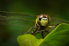 Dragonfly. A dragonfly captured after rainy evening Stock Photo