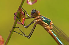 Dragonfly. Artful dragonfly closeup with green background stock photography