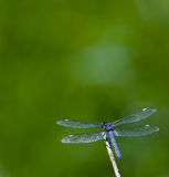 Dragonfly. Spangled Skimmer Dragonfly (Libellula cyanea) on a green background Royalty Free Stock Photography