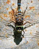 Dragonfly. Dragonly sunning itself on oxidized metal Stock Photos
