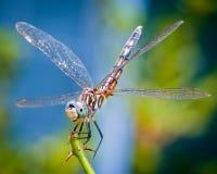 Free Dragonfly Royalty Free Stock Photo - 25580935