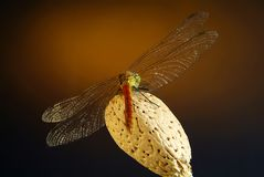 Dragonfly. On an almond aroma Stock Photography