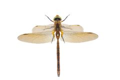 Free Dragonfly Royalty Free Stock Photo - 25672905
