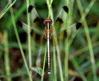 Dragonfly. Wings, put in the garden Stock Photo