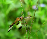 Dragonfly. Wings, put in the garden Royalty Free Stock Photo