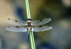 Dragonfly. A dragonfly sitting on a blade of grass stock photo