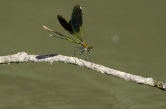 Dragonfly. Macro with a dragonfly resting Royalty Free Stock Photo