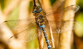 Dragonfly. A dragonfly is a double-winged insect belonging to the order Odonata, the suborder Epiprocta or, in the strict sense, the infraorder Anisoptera (from Royalty Free Stock Photos