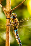 Dragonfly. A dragonfly is a double-winged insect belonging to the order Odonata, the suborder Epiprocta or, in the strict sense, the infraorder Anisoptera Stock Images