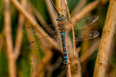 Dragonfly. A dragonfly is a double-winged insect belonging to the order Odonata, the suborder Epiprocta or, in the strict sense, the infraorder Anisoptera (from Royalty Free Stock Photography