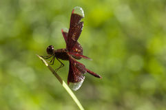 Dragonfly. A dragonfly is resting with wing spread Royalty Free Stock Image