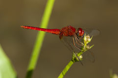 Dragonfly. A dragonfly is resting on stem Royalty Free Stock Images