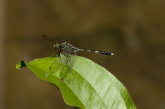 Dragonfly. A dragonfly is resting on leaf Stock Photography
