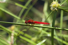 Dragonfly. A red dragonfly is resting Royalty Free Stock Photography