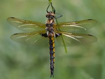 Dragonfly. Yellow dragonfly female on green grass Royalty Free Stock Photography