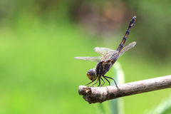 Dragonfly. On background of green  grass sitting on branch Stock Photography