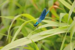 Dragonfly. Stock Photos