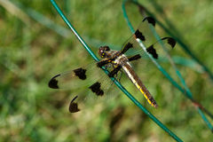 Dragonfly. Closeup of a dragonfly resting on a wire fence in my garden Royalty Free Stock Image