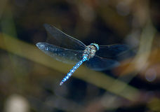 Dragonfly. Blue Dragonfly royalty free stock photos