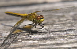 Dragonfly. Sitting on a wooden surface Royalty Free Stock Photo