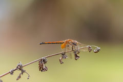 The dragonfly. Royalty Free Stock Photography
