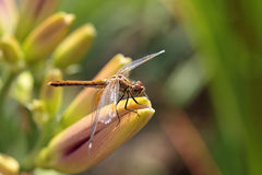 Free Dragonfly Stock Image - 27294581