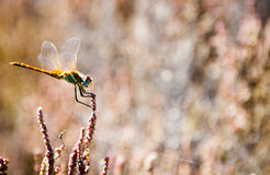 Dragonfly. A dragonfly resting on a plant Stock Photo