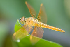 Dragonfly. Big eyes of a dragonfly Stock Image