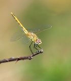 Dragonfly. On the green background royalty free stock images