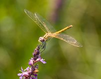 Dragonfly. On the green background royalty free stock photography