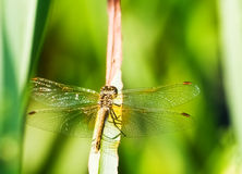 Dragonfly. Beautiful dragonfly close up sitting on a dried blade on a background of a green grass Royalty Free Stock Images