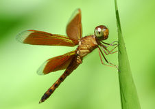 Dragonfly 3 Royalty Free Stock Images