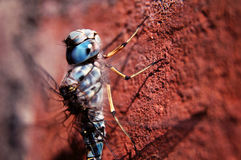Free Dragonfly Royalty Free Stock Image - 3069896
