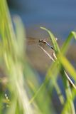 Dragonfly. A dragonfly resting on a twig surrounded by grass with a lake in the background stock photo