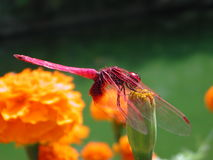 Dragonfly. Resting on a flower Stock Images