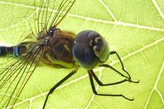 Free Dragonfly Royalty Free Stock Photo - 3160975
