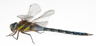 Free Dragonfly Royalty Free Stock Photography - 3242307