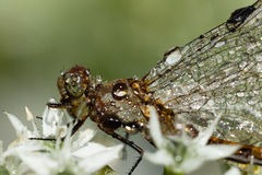 Dragonfly стоковая фотография rf