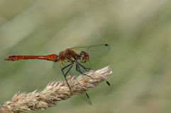 Dragonfly. Macro view of dragonfly on plant, green background Stock Photography