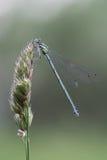 Dragonfly. Стоковое Изображение