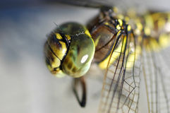 Dragonfly. Photograph of a dragonfly in Alaksa Stock Images