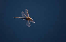 Dragonfly Obraz Stock
