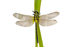 Dragonfly 37 Royalty Free Stock Image
