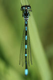 Dragonfly. Little dragonfly with blue and black stripe Stock Photos