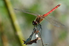Dragonfly. A dragonfly is any insect belonging to the order Odonata, the suborder Epiprocta or, in the strict sense, the infraorder Anisoptera royalty free stock images