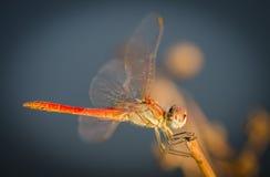 Dragonfly Zdjęcia Royalty Free