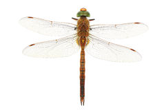 Free Dragonfly Royalty Free Stock Photos - 39709638