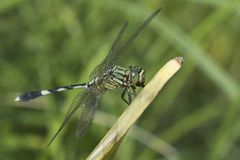 Dragonfly 4. Dragonfly on a stalk of grass Stock Photo