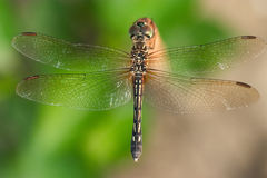 Dragonfly. Perched on a small pole Royalty Free Stock Photos
